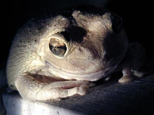 Picture of Cuban Tree Frog (Osteopilus septentrionalis), St. Thomas, U.S. Virgin Islands.