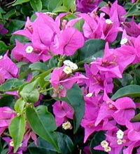 Picture of bougainvillea, St. Thomas, U.S. Virgin Islands.  (plants)