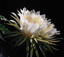 Picture of night blooming cereus, St. Thomas, U.S. Virgin Islands. (plants)
