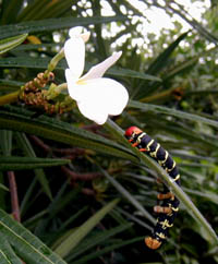 Picture of frangipani caterpillar (Pseudosphinx tetrio) on frangipani tree (Plumeria alba), St. Thomas, U.S. Virgin Islands. (insects)