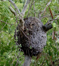 Picture of termite nest, St. Thomas, U.S. Virgin Islands. (insects)
