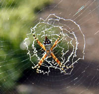 Picture of orb weaver. (spider), St. Thomas, U.S.  Virgin Islands. (arachnids)