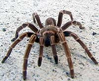 Picture of tarantula (Cyrtopholis bartholomei) (spider), St. Thomas, U.S. Virgin Islands. (arachnids)