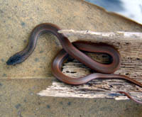 Picture of ground snake (Arryhton exiguus), St. Thomas, U.S. Virgin Islands. (reptiles)