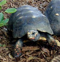 Picture of a red-legged tortoise (Geochelone carbonaria), St. Thomas, U.S. Virgin Islands. (reptiles)