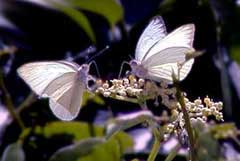 Picture of white sulphurs (butterflies), St. Thomas, U.S. Virgin Islands. (insects)