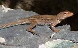 Picture of a ground lizard (Ameiva exsul), St. Thomas, U.S. Virgin Islands. (reptiles)