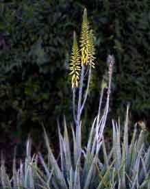 Picture of aloe (Aloe barbadensis) plant with flowers, St. Thomas, U.S. Virgin Islands.  (plants)