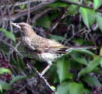 Picture of a pearly-eyed thrasher (Margarops fuscatus), St. Thomas, U.S. Virgin Islands. (birds)