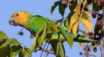 Picture of brown-throated conure (Aratinga pertinax), St. Thomas, U.S. Virgin Islands. (birds)