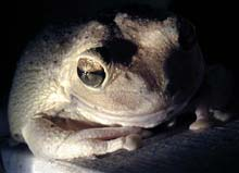 Picture of cuban tree frog (Osteopilus septentrionalis), St. Thomas, U.S. Virgin Islands. (amphibians)