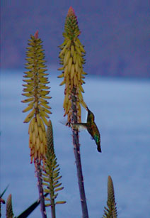 Picture of green-throated carib (Sericotes holosericeus) visiting aloe flower, St. Thomas, U.S. Virgin Islands. (plants)