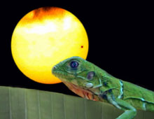 Picture of juvenile green iguana (Iguana iguana) watching Venus transit between the Earth and Sun.