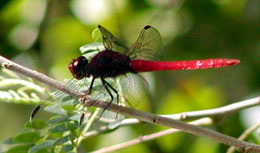 Picture of dragonfly, St. John, U.S. Virgin Islands. (insects)