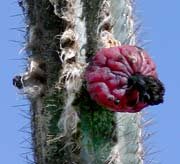 Picture of organ pipe cactus with fruit, St. Thomas, U.S. Virgin Islands.  (plants)