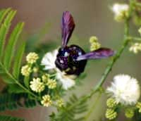 Picture of carpenter bee, St. Thomas, U.S. Virgin Islands. (insects)