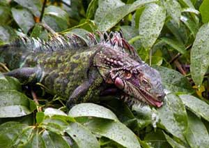 Picture of green iguana (Iguana iguana), St. Thomas, U.S. Virgin Islands. (reptiles)