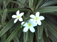 Picture of frangipani (Plumeria alba), St. Thomas, U.S. Virgin Islands.  (plants)