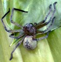 Picture of giant crab spider (Olios giganteus).  St. Thomas, U.S. Virgin Islands. (arachnids)