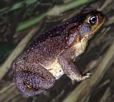 Picture of sugarcane toad (Bufo marinus), St. Thomas, U.S. Virgin Islands. (amphibians)
