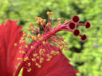 Picture of hibiscus flower, St. Thomas, U.S. Virgin Islands.  (plants)