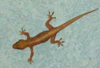 Picture of a woodslave (gecko) (Hemidactulus mabouia),  St. Thomas, U.S. Virgin Islands. (reptiles)